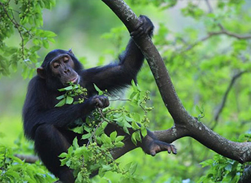 Gombe-National-Park-chimpanzee