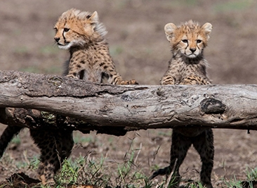 cheetah cubs.PNG