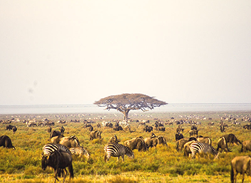 ndutu migration safaris